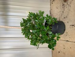 Regular Pittosporum