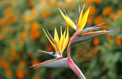 Bird of Paradise in the Paddock