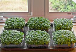 6 containers on tray; BASIL microgreens