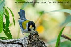 Golden-winged sparrow - Arremon schlegeli