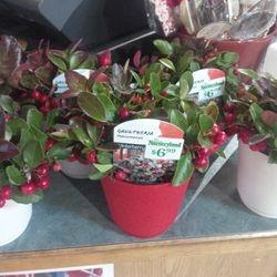 Winterberry, i love it!