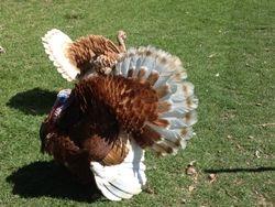 Bourbon Red gobbler and hen