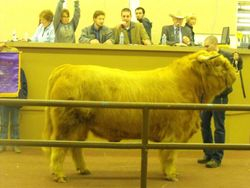 The Grand Champion Bull is sold.
