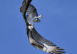 Twisting Osprey