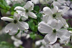 Dogwood Flowers 1