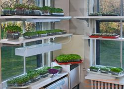 WINDOW SHELVING with an array of microgreens