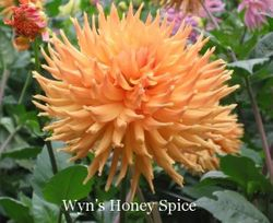 Wyn's Honey Spice-B C O