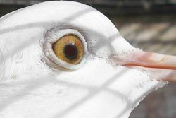 Close up of eye of a Yellow-eyed White