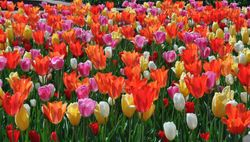 Brookside Tulips 2