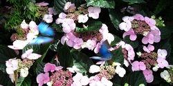 Un-Named (Hydrangea & Butterflies)