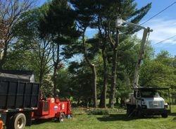 Tree Guys removing White Pines