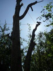 half dead willow
