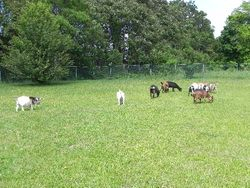 The whole herd