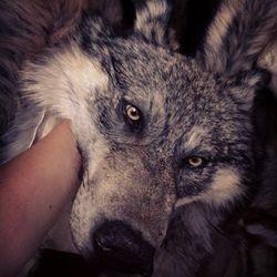 Wolf headdress 2014