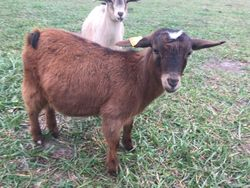 A Peculiar Farm Moaning Myrtle APF * For Sale $450*