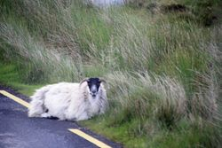 Sheep on road at Inisowen Peninsula