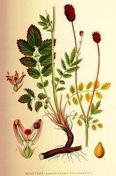 Illustration of Greater Burnet  Sanguisorba officinalis