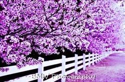 Purple Cherry Blossoms