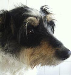 Baxter - Parson Jack Russel