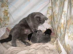 Belle's first litter of Blue & Black kittens.