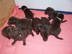 8 Puppies - 3 Weeks Old