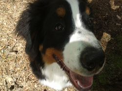 Dog Walker Crowthorne