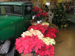 Poinsettias have arrived!