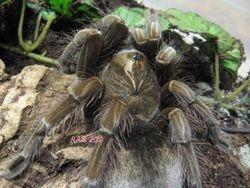 Pamphobeteus sp. :South Ecuador