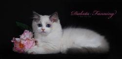 Koc-Pol cat Dakota Fanning