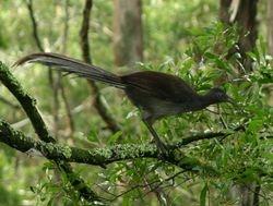 Lyrebird 3