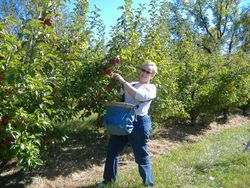 Brenda picking Regent apples