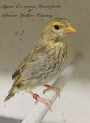 Agate Greenfinch x African yellow canary