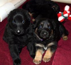 Makita/Stryker Puppies 3 weeks old