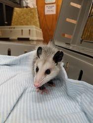 Teeny baby opossum