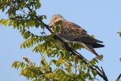 Eurasian Turtle Dove  (Tourterelle des bois)