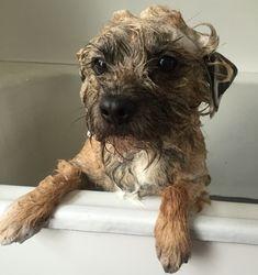 Archie - Border Terrier