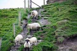 Sheep at Cliffs of Moher