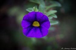 Purple Petunia / Penunie