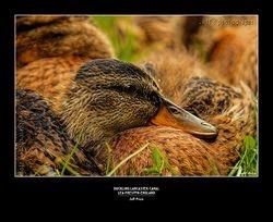 Duckling Lancaster Canal, Preston, England