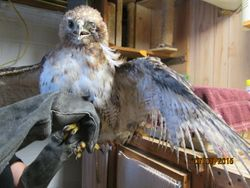 Red-tailed Hawk before