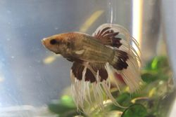 Dragon Scale Crown Tail Male Betta -$10