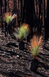 Grass Tree Regrowth 2