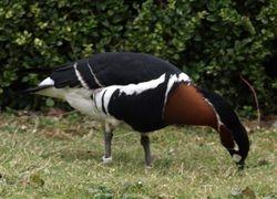 Fancy goose!