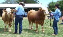 Junior Bull class judging