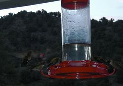 Hummingbirds on backporch