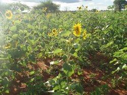 College Sunflower shamba