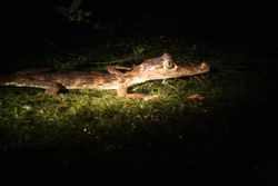 Caiman on Sunset Safari tour