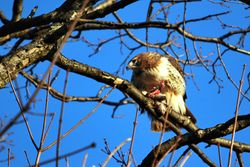 Red Tailed Hawk with dinner.