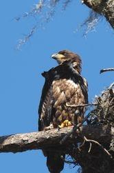 Bald Eagle - 6 month old