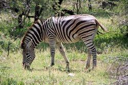 Zebra at Kruger National Park